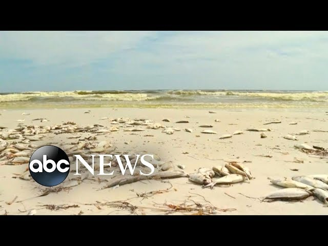 Over 100 miles of dead marine life | ABC News