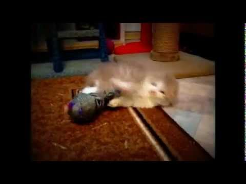 29 июл 2014. Котят веселые котята смешные котята три котенка котята фото купить котенка котенок каракала британские котята котенок гав котята онлайн смотреть онлайн котен.