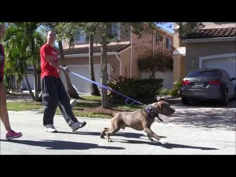 AGGRESSIVE PIT BULL - Destroys other Dogs! ( Part 1 )