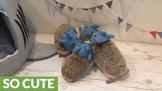 Baby hedgehog family reunited with each other