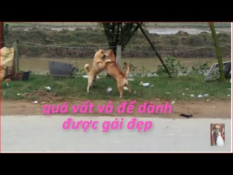 cuộc chiến của 2 chú chó \The battle of two dogs