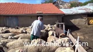 Taking Blood Sample From Sheep For Brucellosis Examination, Performed By Veterinarian Doctor
