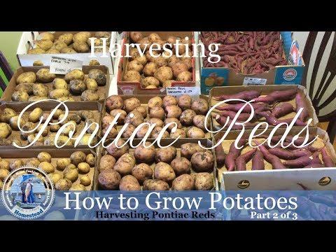 How to Grow Potatoes : HARVEST Pontiac Reds Potatoes
