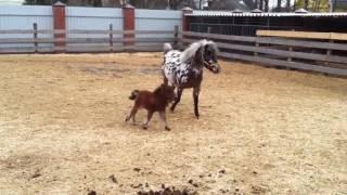 Микролошадка. Детеныш пони. Приколы с животными