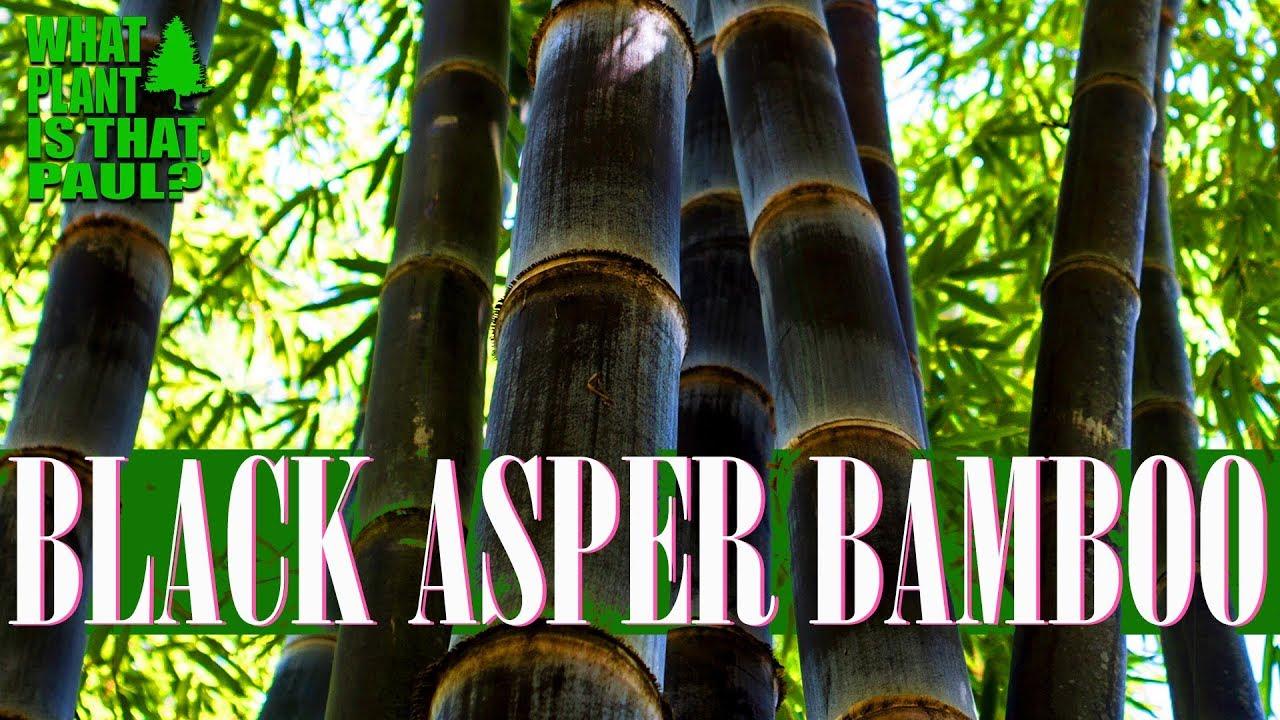 New Shoots on my BLACK ASPER BAMBOO