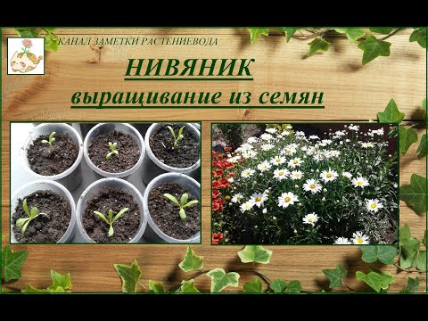 Нивяник (садовая ромашка) - выращивание из семян, от посева до цветения.