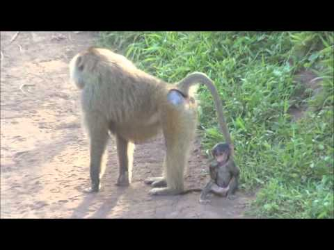 It's not monkey business, it's baboon business (uncut and unedited)