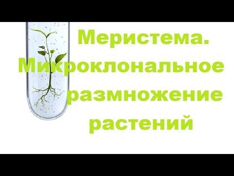 Что такое меристема. Микроклональное размножение растений