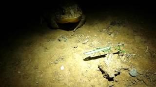 Video Toad vs. Preying mantis download MP3, 3GP, MP4, WEBM, AVI, FLV Desember 2017