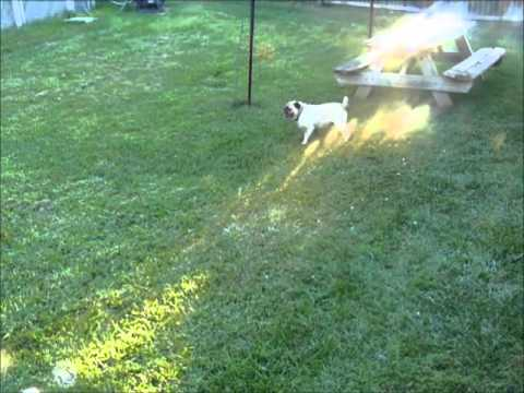 The Pug Gets A Burst Of Energy