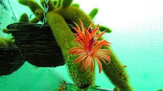 My Cleistocactus winteri ' Golden Rat's Tail Cactus' re blooming