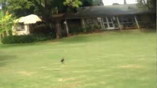 Waimea Plantation Cottages - Chicken Encouter - Kauai