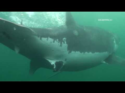 Mary Lee Great White Shark Tagged