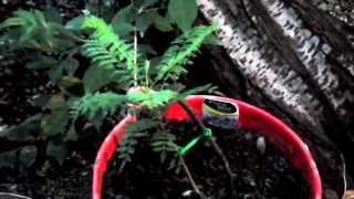Growing Jacaranda Trees  (•‿•✿)