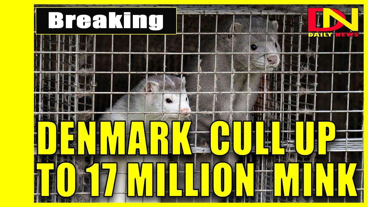 Denmark plans to cull up to 17 million mink to stop mutated ...