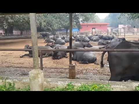 Murrah Buffaloes of NDRI KARNAL - and their characteristics.