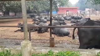 Murrah Buffaloes of NDRI KARNAL and their characteristics.