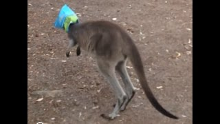 Kangaroo Gets His Head Stuck In A Bag Of Popcorn