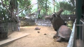 Giant tortoise flips rival in Amsterdam Zoo - Truthloader