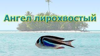 Русская Рыбалка 3.99 Ангел лирохвостый