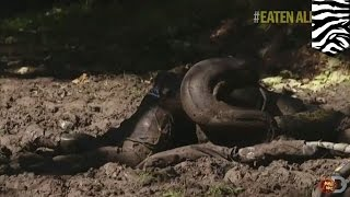 Anaconda eats man: Eaten Alive star wimps out on getting eaten alive by anaconda