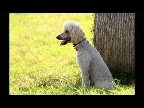 "GDTV Breed Profile  ""Standard Poodle"""