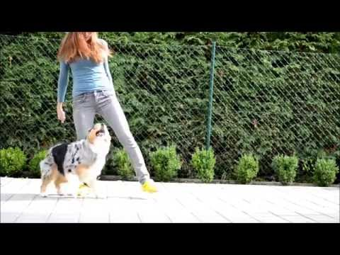 Amazing dog tricks by australian shepherd Airin