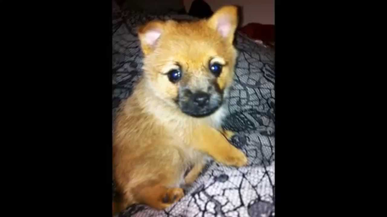 Aussie Terrier Cross Pomeranian Puppies Youtube