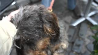 Meeting A Wire-haired Dachshund