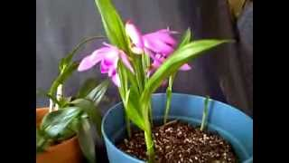 Orchids Liparis Grossa and Bletilla Striata in Bloom