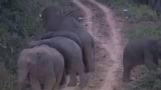 ช้างป่าทองผาภูมิ  ข้ามรั้วเข้ามาหากินตามไร่ชาวบ้านยามค่ำคืน