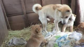 生後6週になった反抗的な山陰柴犬子犬もオッパイには勝てません(笑)