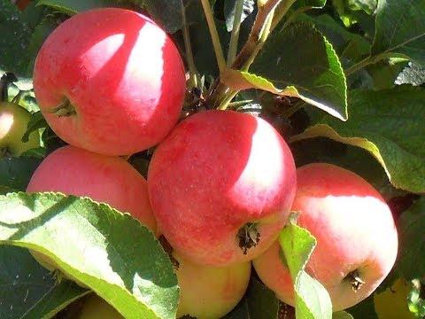 Вопрос: Можно ли отрастить яблоню веткой см?