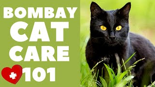 Bombay Cats 101 : Cat Care