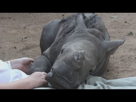 Thumbnail: Baby rhino refuses to sleep alone after mother was brutally murdered by poachers