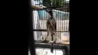 Video Cendet Juara Nasional | Suara Burung Cendet Durasi Panjang
