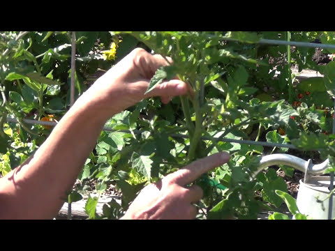 Pruning Indeterminate Tomato Plants