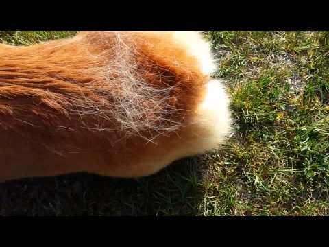 Brushing corgi hair
