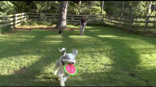 Dog Training: Doodle Play Time With Frisbee And Ball