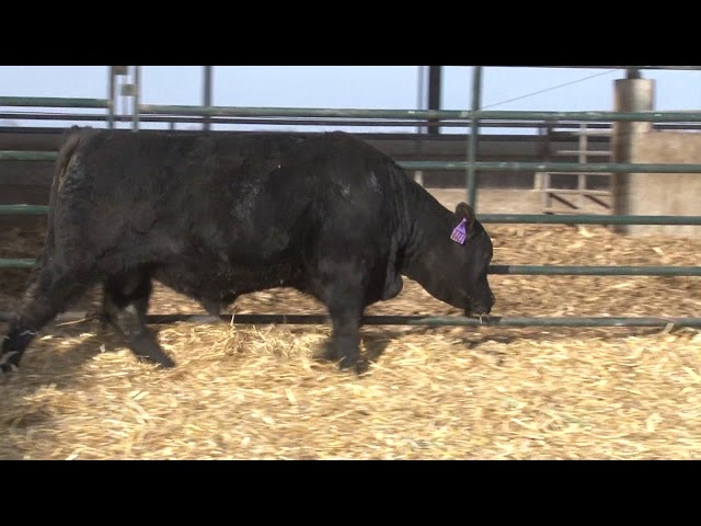 Schiefelbein Angus Farms Lot 72