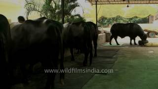 The most expensive Buffaloes in India