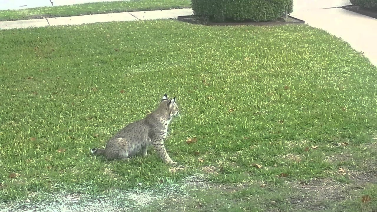 Bobcat 2017 11 14 Plano Texas 2