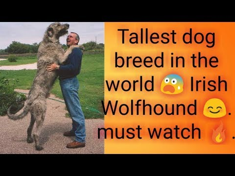 World's biggest and badass dog breed.! IRISH WOLFHOUND.