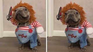 Tiny Dog Dresses Up As Chucky