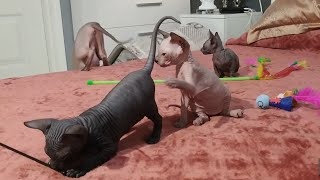 Sphynx kittens playing, heartwarming to watch / DonSphynx /