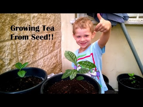 Tea Growing From Seed - Results