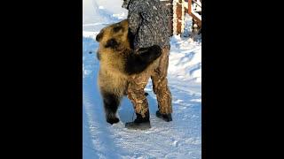 Медведь - друг человека
