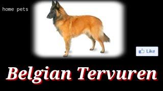 Pleasures Your Mind   Belgian Tervuren   Types of dogs #1