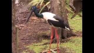 Black-necked stork - Endangered species - Wildspace Australia