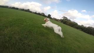 Gopro Dog (cocker Spaniel)